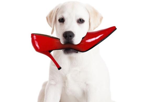 dog chewing shoe resized 600