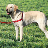 Easy-Walk Harness